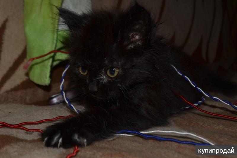 Котята чёрные длинношёрстные