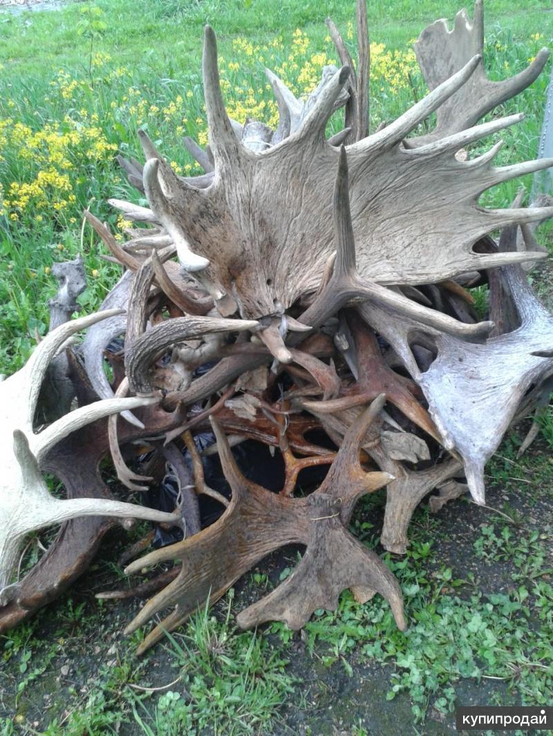 Куплю рога оленя, лося, марала