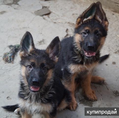 Продаём щенков немецких овчарок в Краснодаре