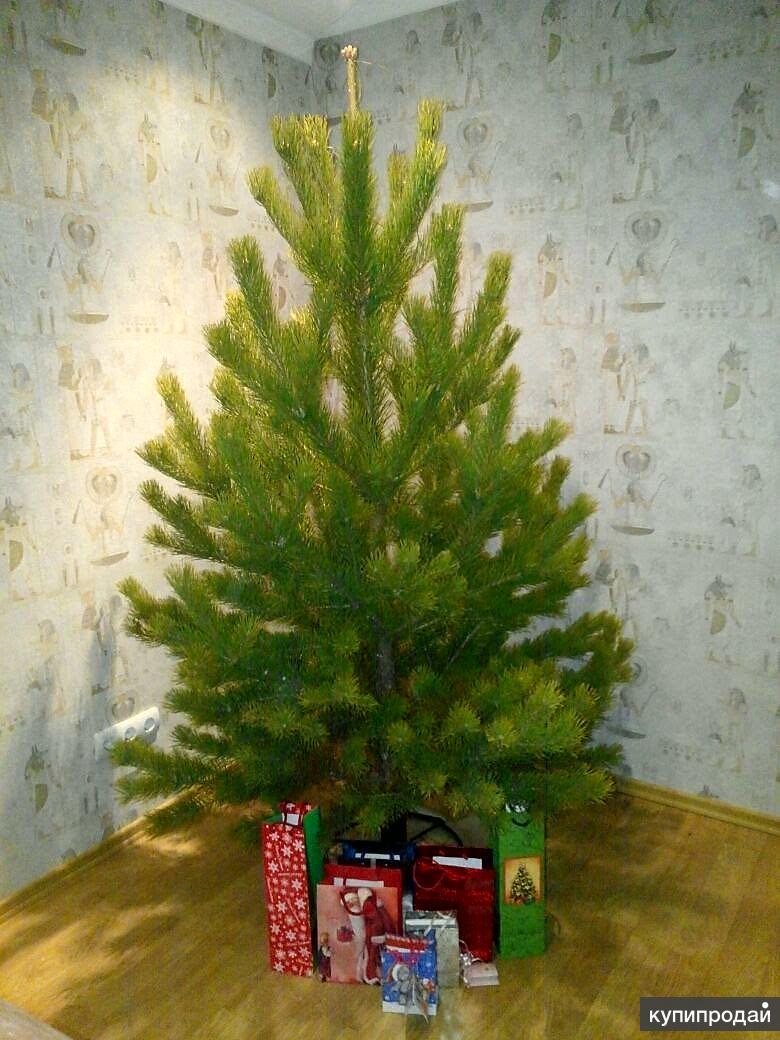 Живая елка, сосна, пихта