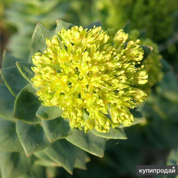 Золотой корень - ценное лекарственное растение. Семена почтой по России.
