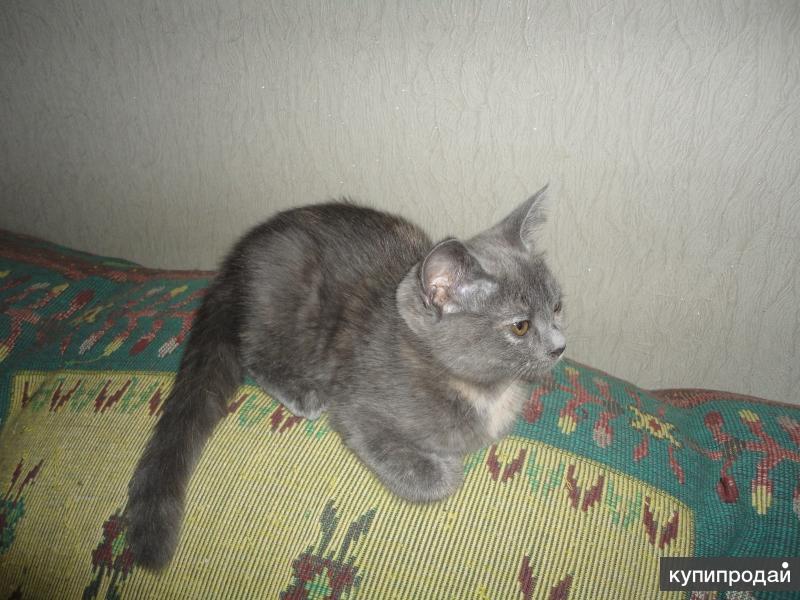 Продажа британского котенка.