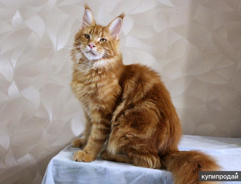 Продаю котят мейн кун