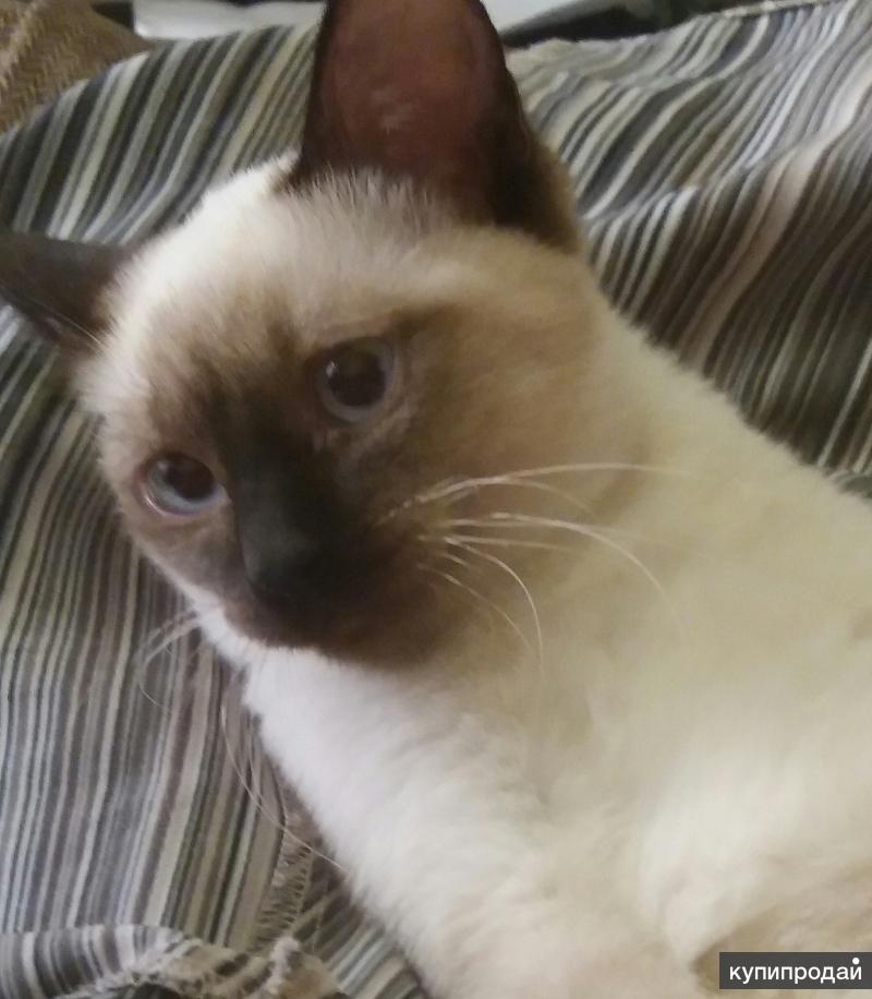 Сиамский котенок мальчик 3, 5 мес.