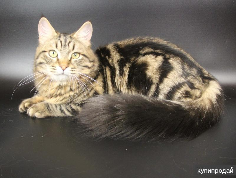 Самый ласковый сибирский котик