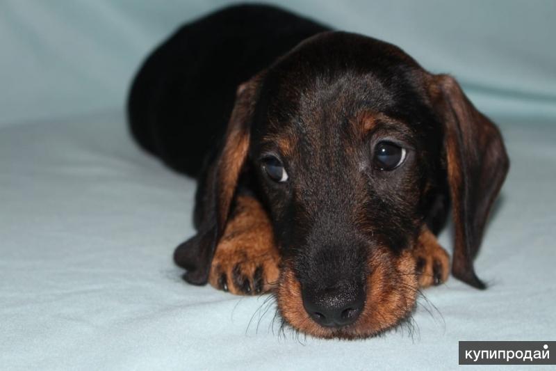 щенок мини-жестик таксы