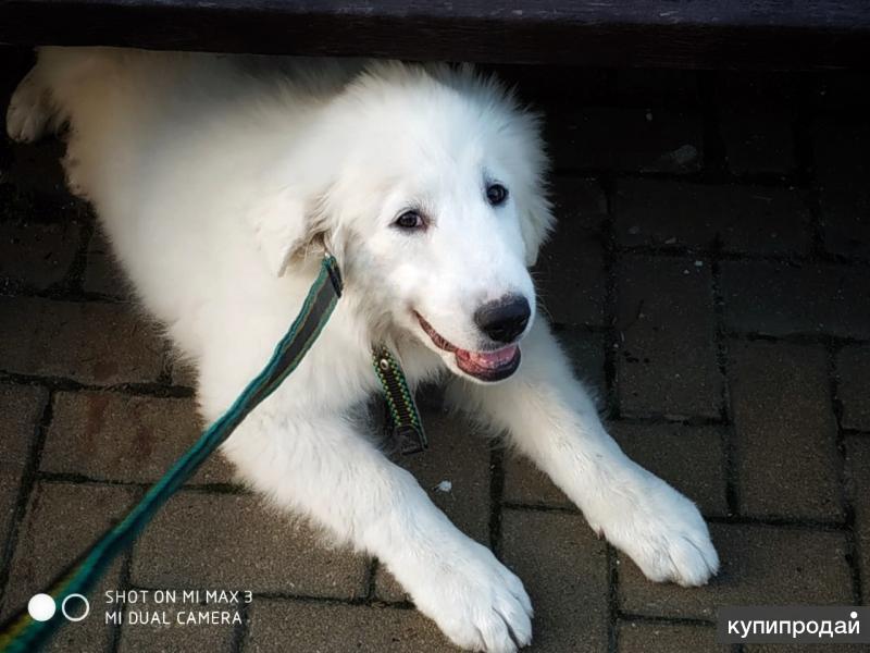Элитный Щенок Пиренейской Горной Собаки