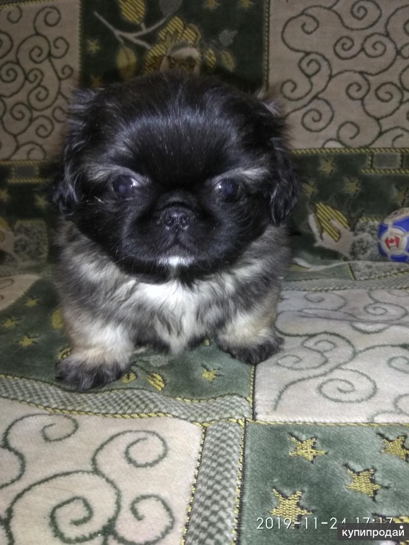 запущенный фото щенка пекинеса в три недели клей высохнет, отшлифовать