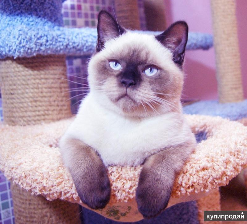 Британские котята.Котик seal - point BRI n 33